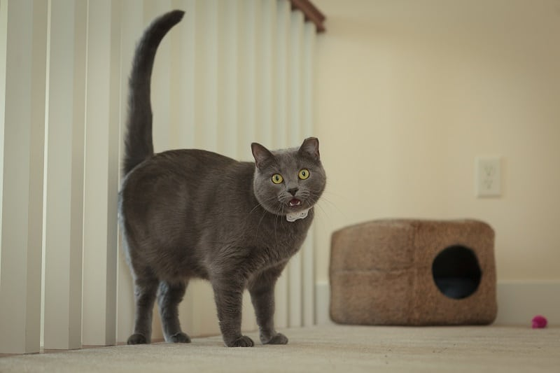 cat pinot Russian blue